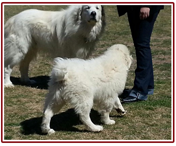 Pyrenees dogs