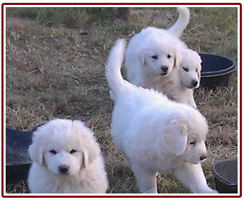 Pyrenees puppies